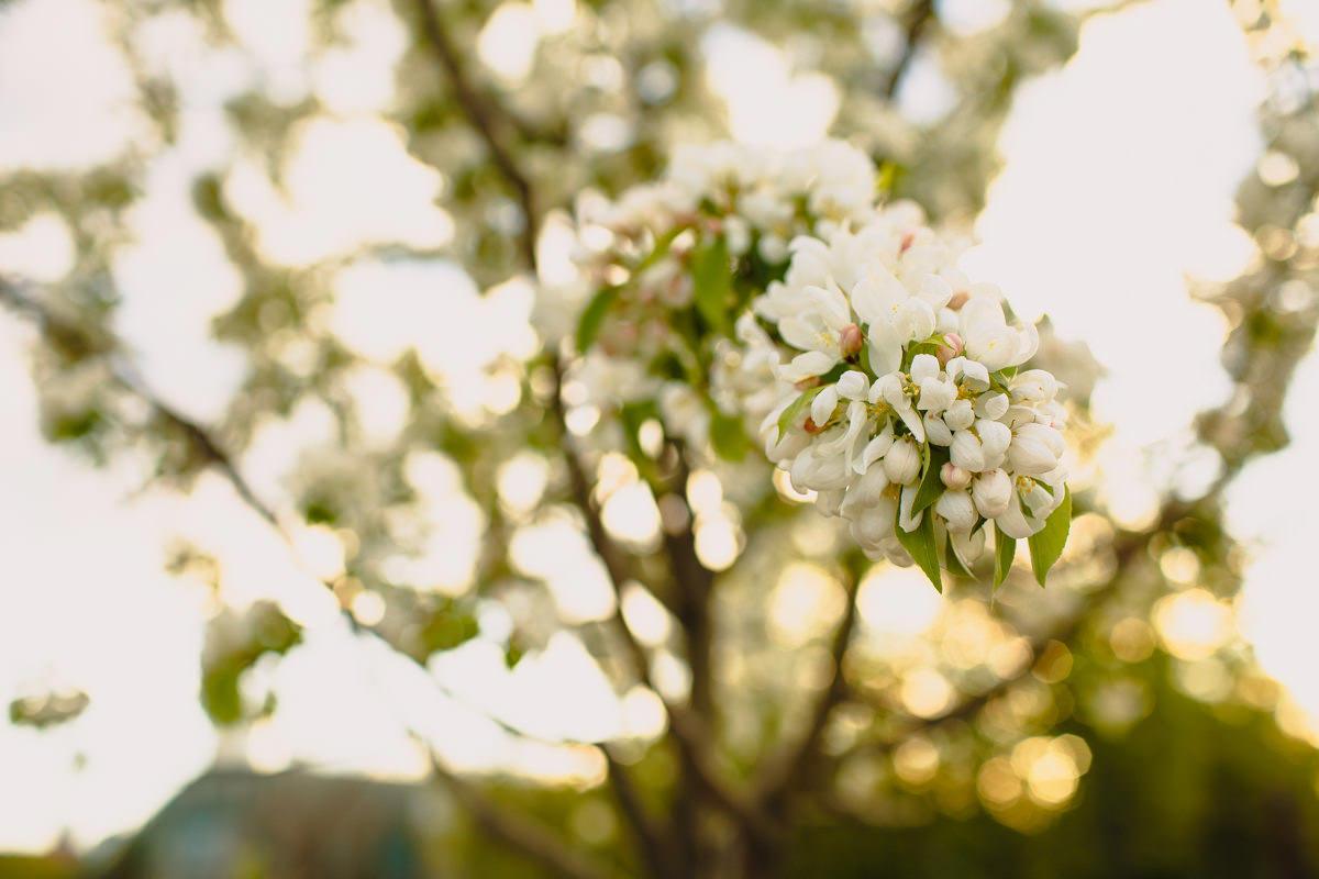 wiosna kwitnaca jablon warszawa